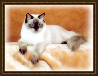 Kay Bee, a Seal Point Ragdoll