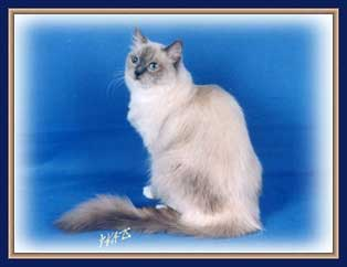 Mandy, a Blue Mitted Ragdoll