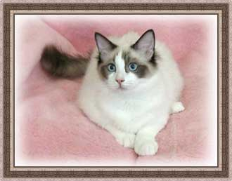 Mr. Hugz, a Seal Bicolor Ragdoll