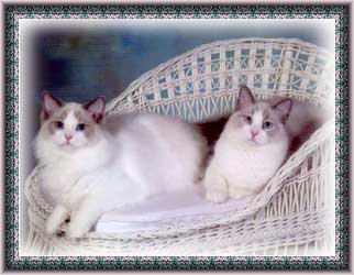 Rocky and Moxie, two blue bicolor Ragdolls